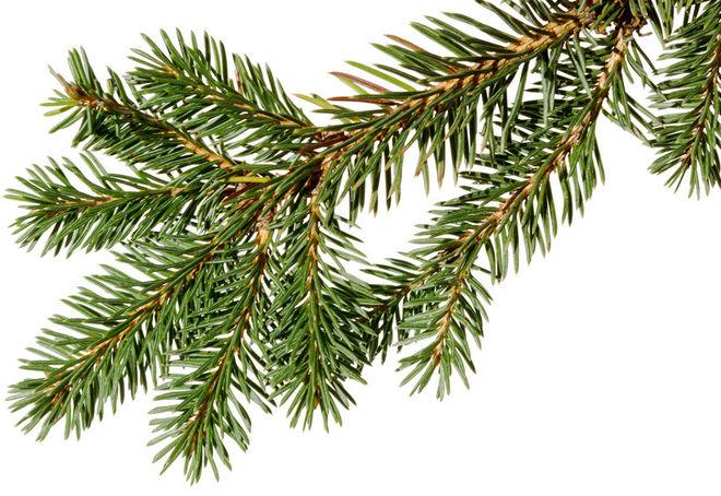 Branche de sapin de Noël ©Romiri-Fotolia