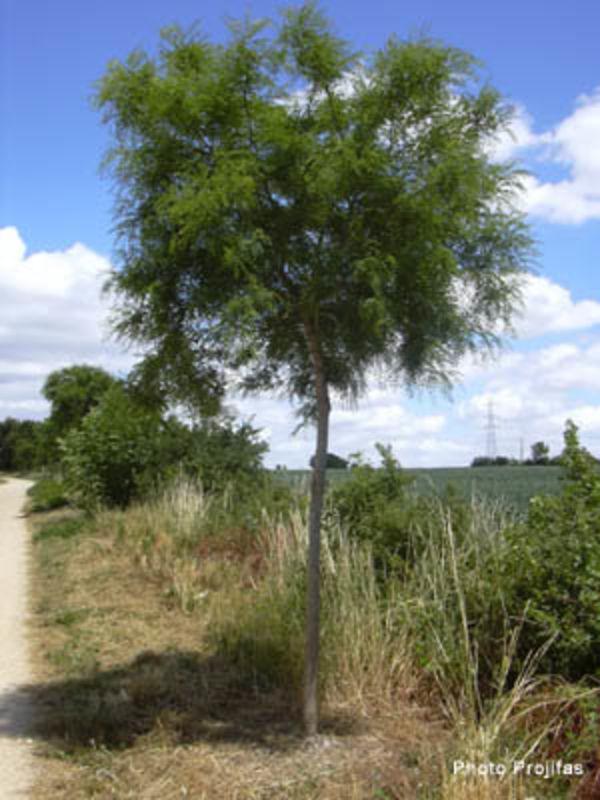 """Robinia """"pseudoacacia mimoseafolia"""""""