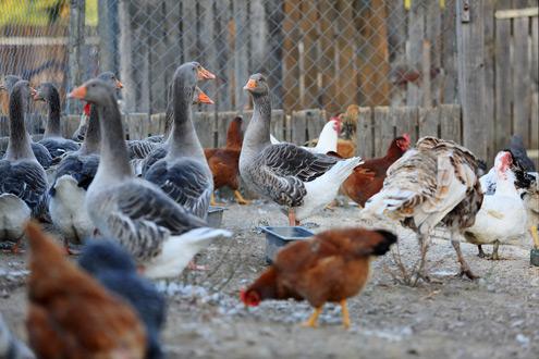 Poules et canards ©Fotolia