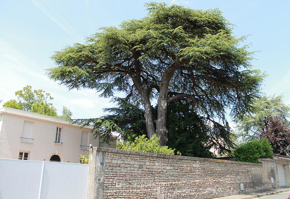 Arbres remarquables mairie de niort - Cedre bleu du liban ...