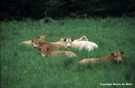 Vaches allongées dans l'herbe